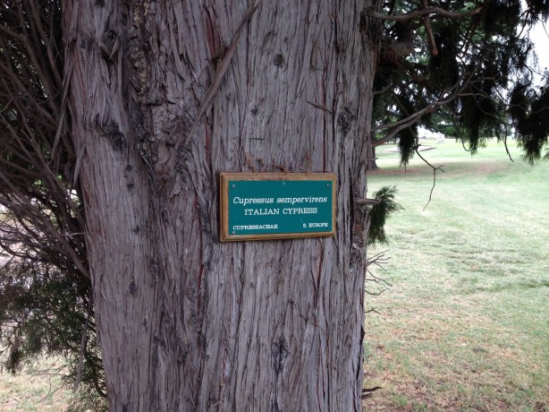 The 11th Cypress tree at Commonwealth Golf Club
