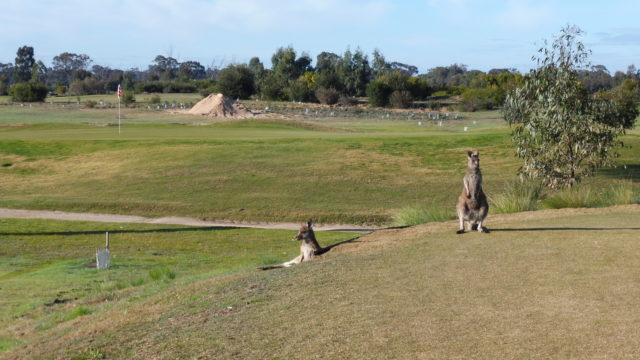 Kangaroos on the tee at Horsham Golf Club