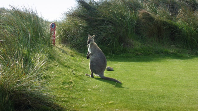 Wallaby at Cape Wickham Links